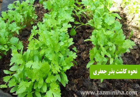 بذر جعفری - نحوه کاشت بذر جعفری